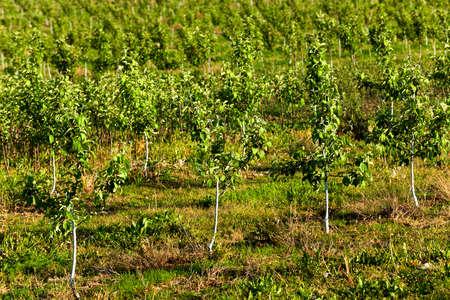 arbol de manzanas: los j�venes �rboles frutales fotografiados en una temporada de primavera en un huerto
