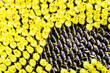 sharpness: the flower of the ripening sunflower photographed by a close up. small depth of sharpness