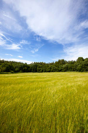 oscillation: windy weather in the agricultural field. The picture shows the oscillation of wheat ears. Stock Photo