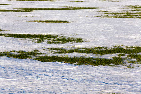 thawing: the first sprouts of winter wheat which appeared when thawing snow