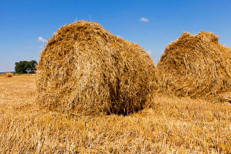 haycock: haystacks straw lying in the agricultural field after harvesting cereal