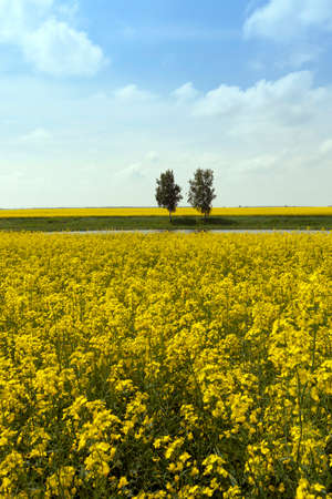 gold tree: Agricultural field on which grow canola. trees in the background