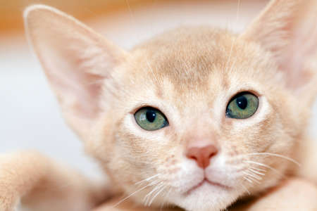 fawn: photographed close-up head of the Abyssinian kitten. color fawn
