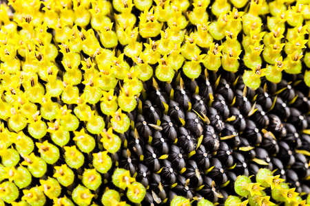 corolla: sunflower seeds covered with yellow flowers for pollination. spring season. corolla Stock Photo