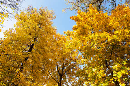 yellowed: trees growing in the autumn season. yellowed foliage