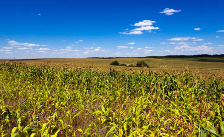 sprouted: agricultural field where maize is grown. Young green corn sprouted