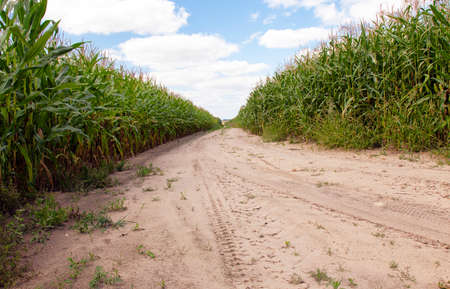 crop margin: a small road passing through a field on which grow corn