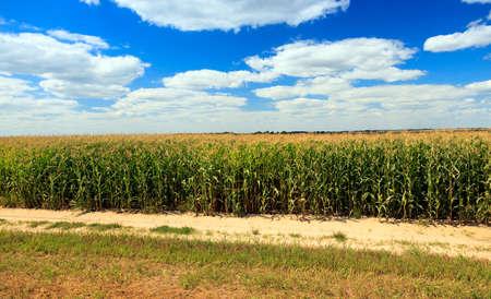 crop margin: una peque�a carretera que pasa a trav�s de un campo en el que crece el ma�z Foto de archivo