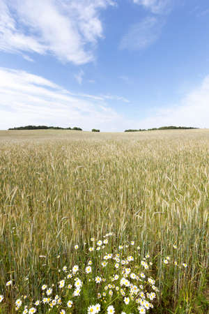 field crop: daisy growing in the agricultural field on which grow up cereals Stock Photo