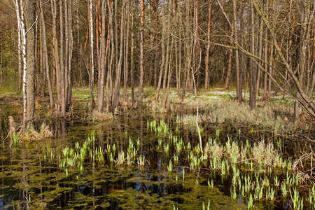 mire: photographed close-up of the swamp in the spring season Stock Photo