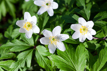 effloresce: photographed close up white spring flowers.  forest
