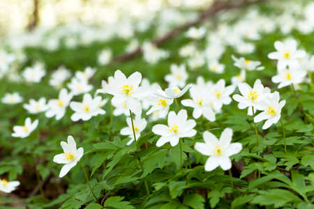 effloresce: photographed close up white spring flowers.  forest,