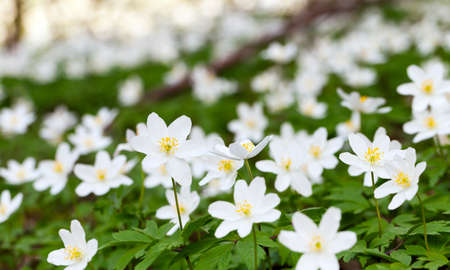 effloresce: photographed closeup early spring flowers in white Stock Photo
