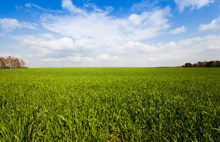 unripe green grass growing on agricultural field