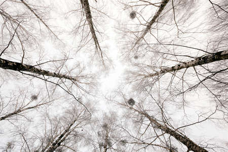 clear day in winter time: photographed close-up of the tops of trees in the winter season Stock Photo