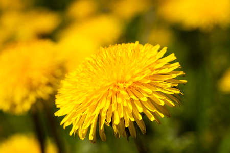 field flower: photographed close up of yellow dandelions. spring