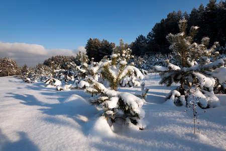 woodsy: pine trees growing in a forest in winter. covered with snow Stock Photo