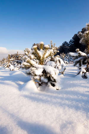 implanting: pine trees growing in a forest in winter. covered with snow Stock Photo