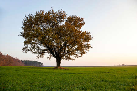 roble arbol: fotografiado primer plano de un roble en la temporada de otoño Foto de archivo