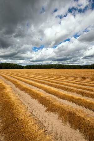 removed: Agricultural field on which was recently removed flax. autumn Stock Photo