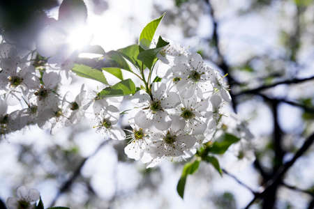 effloresce: photographed close up White cherry blossoms. spring Stock Photo
