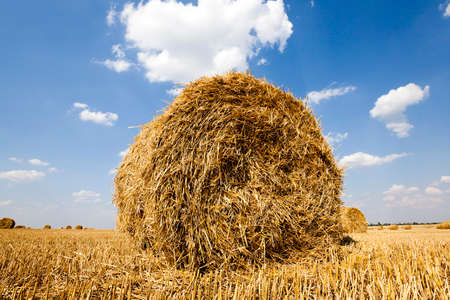 haymow: in a stack of twisted straw remains in the field after harvesting cereal