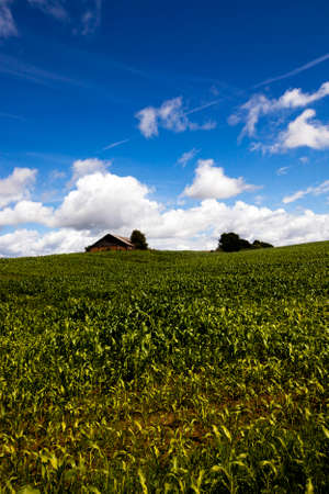 outbuilding: young corn plants growing in the field. Is seen in the distant outbuilding.