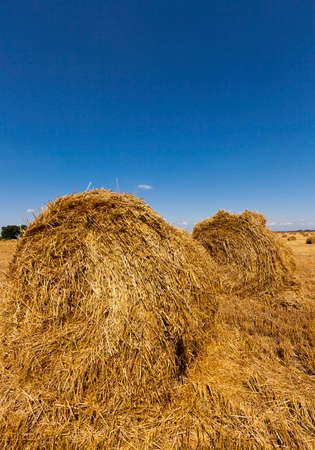 haystacks: haystacks straw lying in the agricultural field after harvest. summer