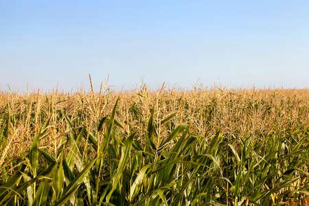 planta de maiz: fotografiado cerca planta de maíz inmaduros verde