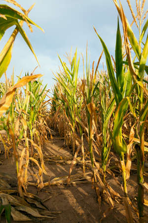 yellowing: photographed close-up corn field with yellowing corn Stock Photo