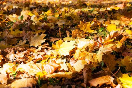 wizened: photographed close-up of yellowed foliage. autumn season. Stock Photo