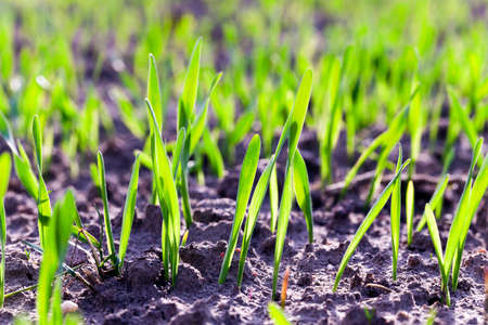 bourgeon: photographed close-up of green wheat sprouts. agricultural field
