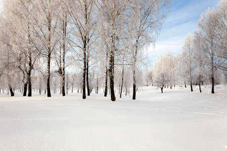 wintery day: deciduous trees, photographed during the winter. snow on the ground Stock Photo