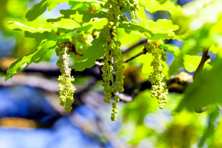 ablooming: oak flowers  , growing on a tree branch against the blue sky. Close-up. Spring.