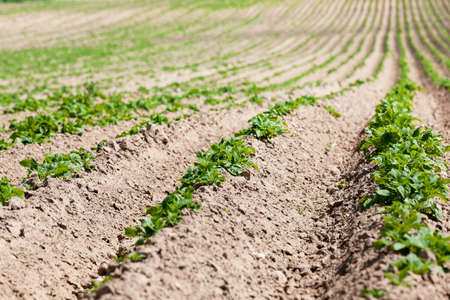 furrow: an agricultural field on which grows green potatoes. furrow. Spring. close-up