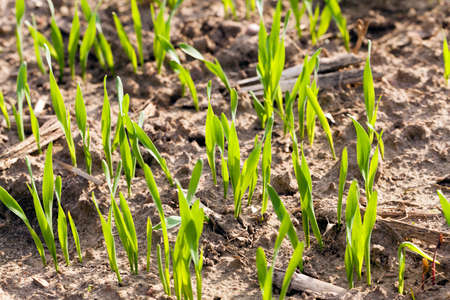 gramineous: winter wheat sprouted in the field,  Close up.