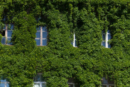 ivy wall: covered with ivy wall of the building in the summer,