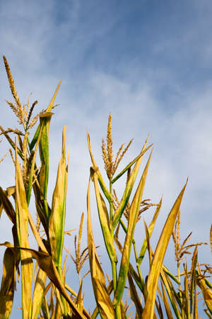 yellowing: agricultural field where maize growing yellowing. mature corn. Belarus