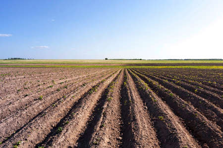 dirt: Agricultural field on which grow potatoes. Belarus