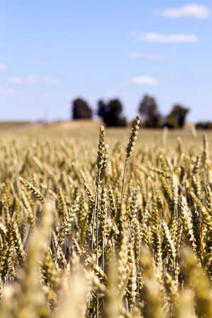 industry moody: Agricultural field on which grow yellowed ripe wheat, on the tree grows Stock Photo