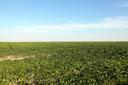rutabaga: Agricultural field on which grow beets for sugar production, sugar beet