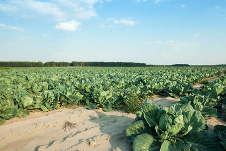 defects: Agricultural field on which grow green cabbage. there are defects in the cabbage from insects, etc. Stock Photo