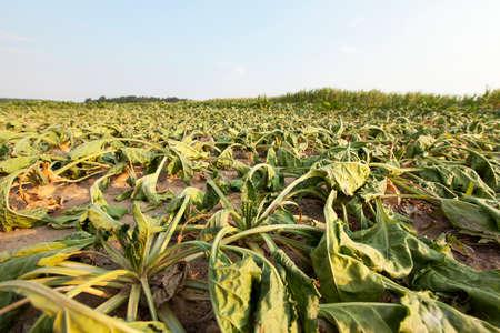 Le domaine agricole, qui est de plus en plus par la sécheresse séché la betterave à sucre, l'été, petite profondeur de champ Banque d'images - 54266281