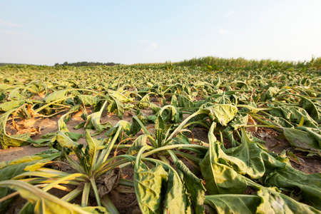 aridness: the agricultural field, which is growing by the drought dried sugar beet, summer, small depth of field