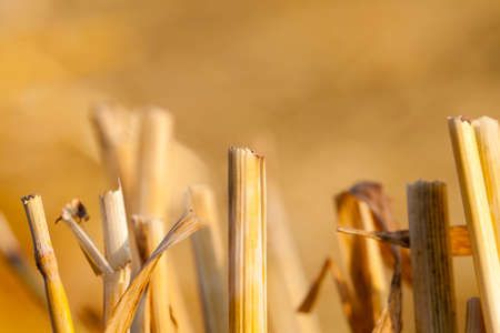 beveled: agricultural field with beveled wheat after harvesting cereal crops, small depth of field