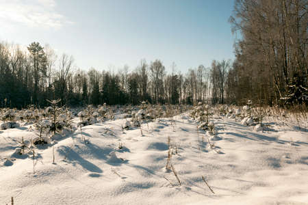 piny: pine trees growing in the forest. photo taken in winter. covered with snow