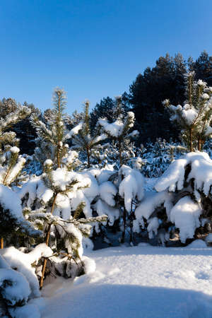 woodsy: photographed close up fir. winter season, forest Stock Photo