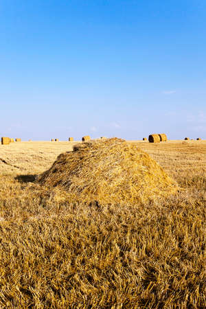 haymow: an agricultural field where harvested cereals and straw collected in a stack. summer