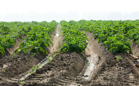 field crop: agricultural field where potatoes, green unripe potatoes Stock Photo