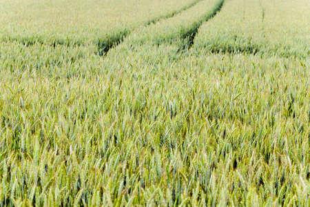 puerile: photographed closeup immature cereals. spring season. wheat